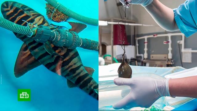 Древняя акула впервые отложила яйца в океанариуме в Приморье.акулы, Приморье.НТВ.Ru: новости, видео, программы телеканала НТВ
