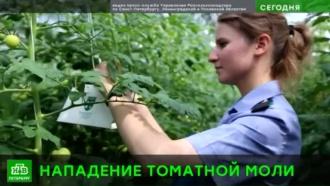 Томатная моль атаковала теплицы в Ленобласти