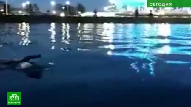 Пловец преодолел 53 километра из Петербурга в Кронштадт и обратно.Кронштадт, Санкт-Петербург, Финский залив, марафоны, плавание.НТВ.Ru: новости, видео, программы телеканала НТВ