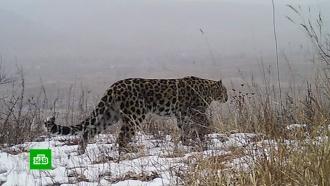 Ученые нашли четырех новых леопардов вПриморье