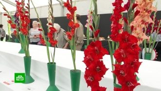 Море цветов: в Шотландии проходит чемпионат по выращиванию гладиолусов