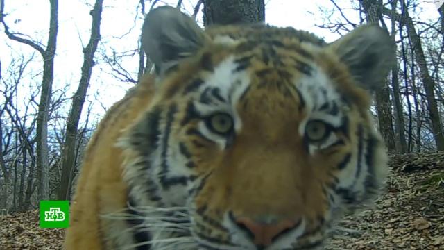 Обитатели приморской «Земли леопарда» устроили массовую фотосессию «в социальной сети».леопарды, заповедники, животные, Приморье, медведи, тигры, фото, олени.НТВ.Ru: новости, видео, программы телеканала НТВ