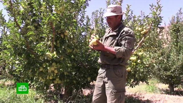 Сирийские фермеры собрали рекордный урожай яблок.войны и вооруженные конфликты, сельское хозяйство, Сирия, урожай.НТВ.Ru: новости, видео, программы телеканала НТВ