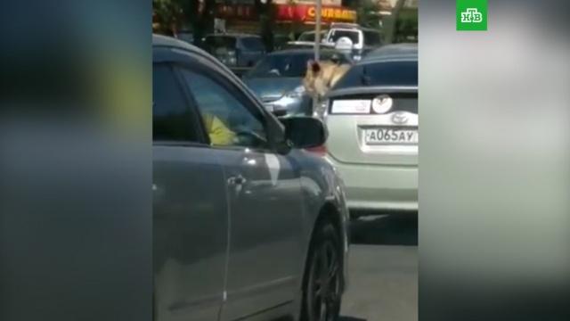 Во Владивостоке сняли на видео катающегося вавтомобиле льва.Владивосток, автомобили, животные.НТВ.Ru: новости, видео, программы телеканала НТВ