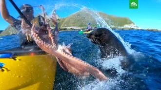 Тюлень «побил» мужчину осьминогом: видео