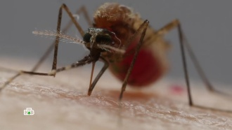 Вкольце эпидемий: комары принесли вРоссию смертельно опасные вирусы