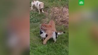 Пума напала на домашнюю собаку в подмосковном поселке