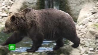 Великобритания планирует импортировать медведей из России
