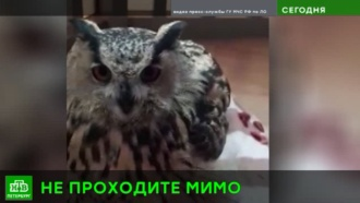 Великодушный спасатель вылечил у себя дома раненую сову