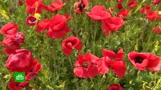 Минпромторг предложил разрешить выращивать вРоссии опийный мак
