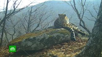 Сотни фотоловушек для наблюдения за леопардами установили в Приморье