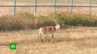 ВРостовской области выпустили на волю краснокнижных сайгаков