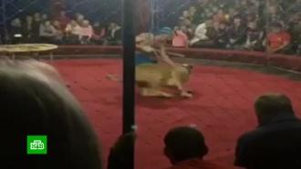 Директор цирка задержан после нападения львицы на ребенка на Кубани