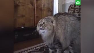 В Перми умер кот — герой мема Nonono Cat
