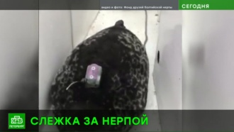 Петербургские ученые пометили спасенных нерп трекерами