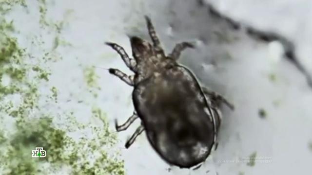 В постели с паразитом: как избавиться от пылевого клеща.аллергия, болезни, клещи, технологии.НТВ.Ru: новости, видео, программы телеканала НТВ