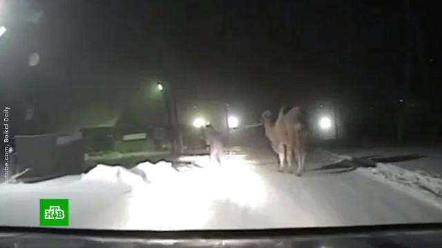 В ДТП на трассе Иркутской области погиб верблюд.ДТП, животные, Иркутская область, цирк.НТВ.Ru: новости, видео, программы телеканала НТВ