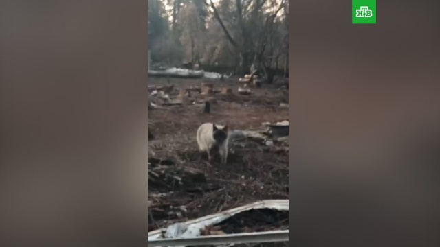 Жители Калифорнии нашли на месте сгоревшего дома ждавшую их месяц кошку.США, кошки, лесные пожары.НТВ.Ru: новости, видео, программы телеканала НТВ