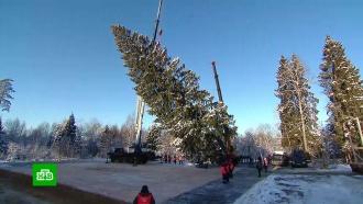 Главная елка страны: как выбирали дерево для Соборной площади Кремля