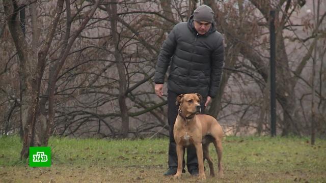 ВСеверной Осетии начали разводить редких собак ссуровым взглядом.Северная Осетия, животные, собаки.НТВ.Ru: новости, видео, программы телеканала НТВ