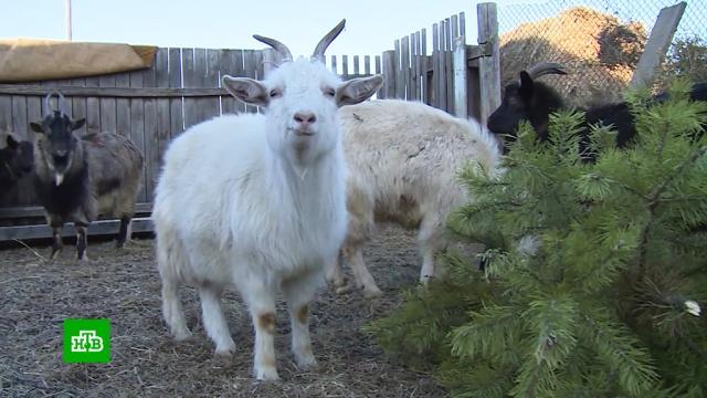 Жители поселка под Читой сдали новогодние елки на корм козам.Новый год, Чита, животные.НТВ.Ru: новости, видео, программы телеканала НТВ