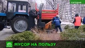 Праздник — в щепки: как в Петербурге утилизируют новогодние елки