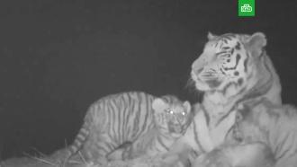 ВПриморском нацпарке сняли на видео игры четверых тигрят