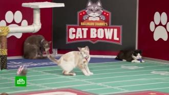 Рыжие против полосатых: вСША готовятся ксуперкубку по кошачьему футболу