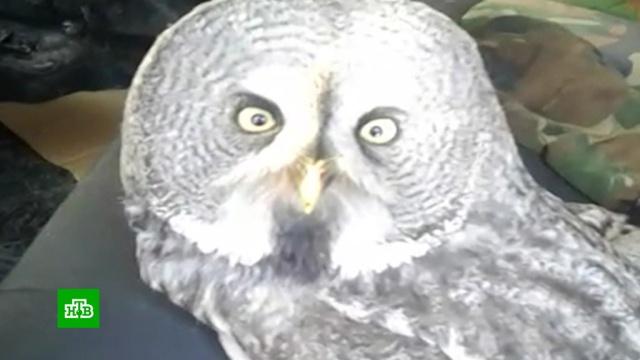 Замерзшую сову спасли на трассе под Тюменью.Тюменская область, птицы.НТВ.Ru: новости, видео, программы телеканала НТВ