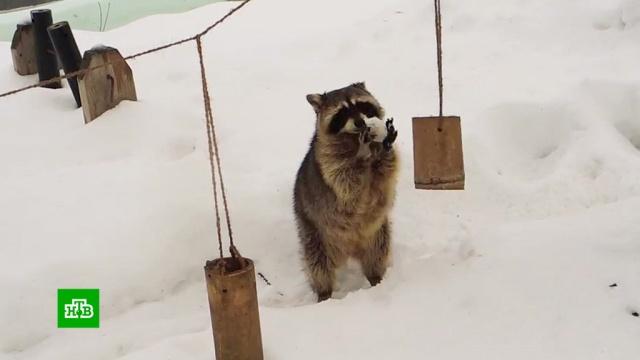 Оттепель разбудила енотов-полоскунов вМосковском зоопарке.Москва, животные, зима, зоопарки.НТВ.Ru: новости, видео, программы телеканала НТВ
