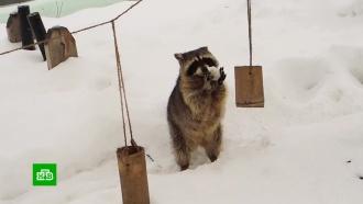Оттепель разбудила <nobr>енотов-полоскунов</nobr> вМосковском зоопарке
