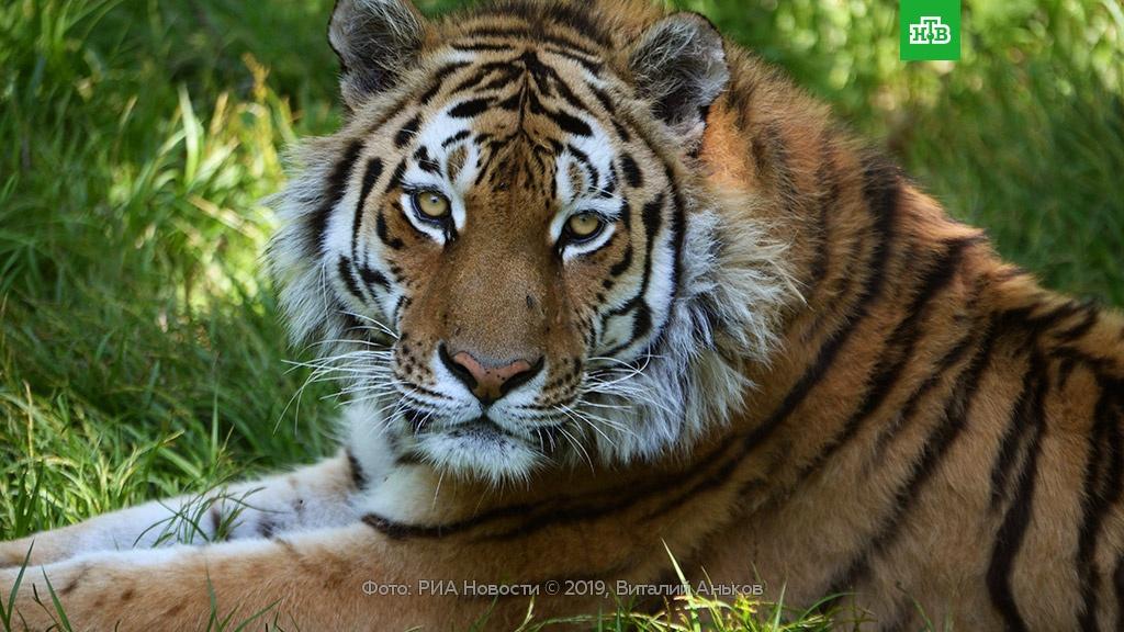 Тигр секс