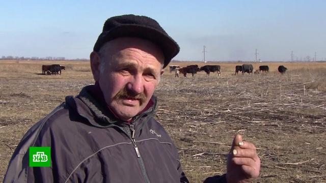 Бездомный фермер 8 лет скитается по Ростовской области с коровами и собаками.Ростовская область, бомжи, животные.НТВ.Ru: новости, видео, программы телеканала НТВ