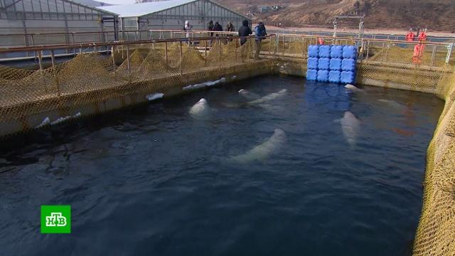 Попавшие в«китовую тюрьму» косатки ибелухи нуждаются вреабилитации.Приморье, ФСБ, животные, киты.НТВ.Ru: новости, видео, программы телеканала НТВ