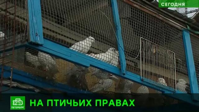 Питерские чиновники готовы снести голубятню из-за анонимной жалобы в Интернете.Санкт-Петербург, животные, птицы.НТВ.Ru: новости, видео, программы телеканала НТВ