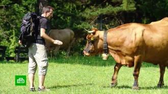 Кодекс поведения с коровами: как уберечься от рогов агрессивных буренок