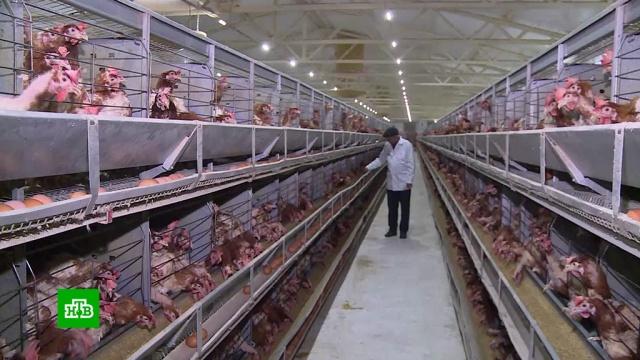 Пищевая промышленность Чечни выходит на новый уровень.Чечня, птицы, сельское хозяйство, экономика и бизнес.НТВ.Ru: новости, видео, программы телеканала НТВ