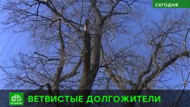 Петербургские деревья-долгожители обозначат памятными табличками.Санкт-Петербург.НТВ.Ru: новости, видео, программы телеканала НТВ