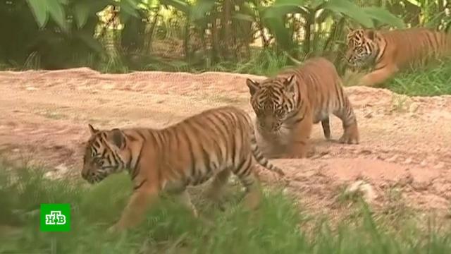 В сиднейском зоопарке показали детенышей суматранского тигра.Австралия, животные, зоопарки, тигры.НТВ.Ru: новости, видео, программы телеканала НТВ