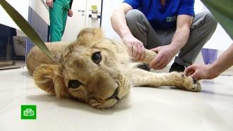 Поставить на лапы: в Москве прооперировали львицу Симону