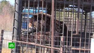 Зоозащитники добились проверки условий жизни медведей на тверской АЗС