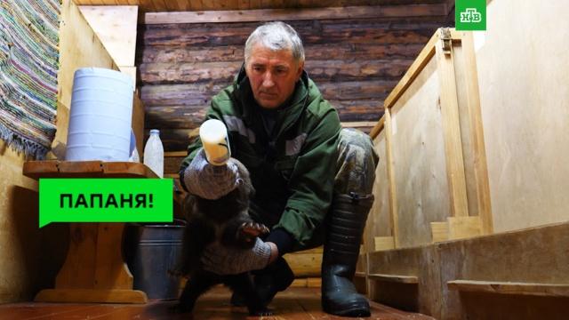 Главный спасатель медвежат-сирот иего «дети».ЗаМинуту, медведи.НТВ.Ru: новости, видео, программы телеканала НТВ