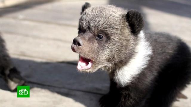 В Бурятии спасли медвежат из частного зоопарка.Бурятия, животные, медведи.НТВ.Ru: новости, видео, программы телеканала НТВ