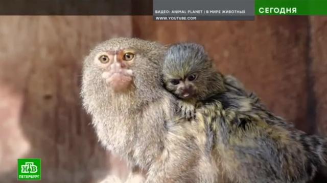 ВЛенинградском зоопарке поселятся самые маленькие вмире обезьянки.Санкт-Петербург, животные, зоопарки.НТВ.Ru: новости, видео, программы телеканала НТВ