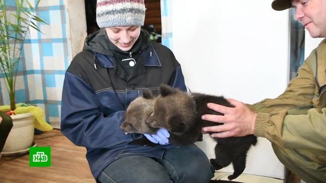 В Кузбассе ищут приют для спасенных медвежат.Кузбасс, животные, медведи.НТВ.Ru: новости, видео, программы телеканала НТВ