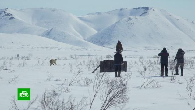 Поселившегося в камчатском поселке белого медведя вертолетом доставили на Чукотку.Спецоперацию по спасению белого медведя провели на Камчатке. Экстренные меры потребовались после того, полярный хищник неожиданно появился вблизи жилья. Охотоведы предполагают, что он приплыл на льдине с Чукотки в поисках еды.Камчатка, МЧС, Чукотка, животные, медведи.НТВ.Ru: новости, видео, программы телеканала НТВ