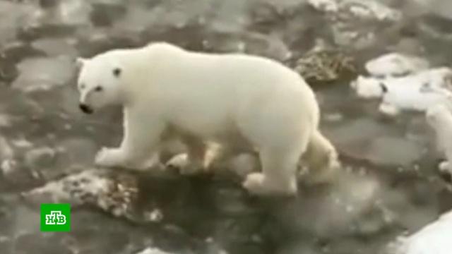 На Ямале семья белых медведей пришла квахтовикам.Ямало-Ненецкий АО, медведи.НТВ.Ru: новости, видео, программы телеканала НТВ