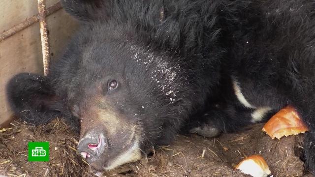 Брошенному вКузбассе медвежонку нашли новый дом.Кемеровская область, животные, медведи.НТВ.Ru: новости, видео, программы телеканала НТВ