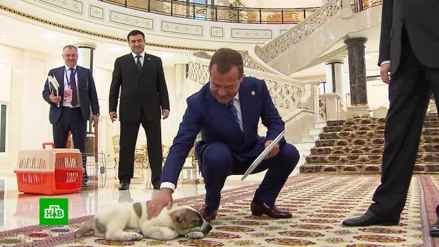 Глава Туркменистана подарил Медведеву щенка.Медведев, Туркмения, переговоры, подарки, собаки.НТВ.Ru: новости, видео, программы телеканала НТВ