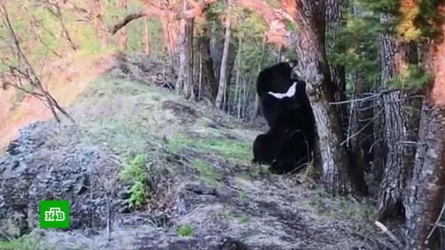 Не подглядывай: медведь попробовал на зуб фотоловушку в Приморье.животные, медведи, Приморье.НТВ.Ru: новости, видео, программы телеканала НТВ